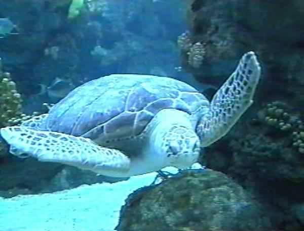 Ecco perché le tartarughe caretta caretta partoriscono nel Cilento